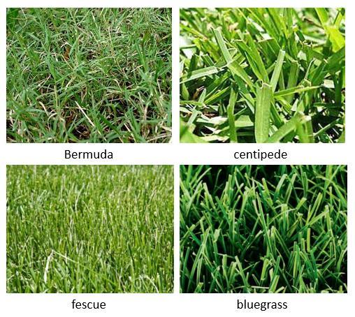 미국 잔디 종류 사진